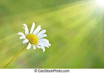 Chamomile on the field