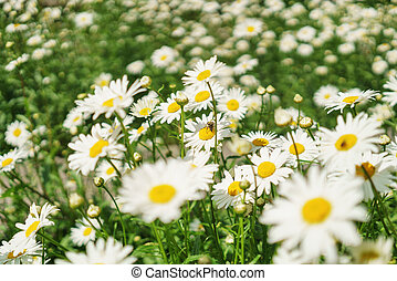 chamomile on the meadow in sunny day