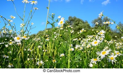 chamomile on wild meadow in the afternoon - chamomile on a...