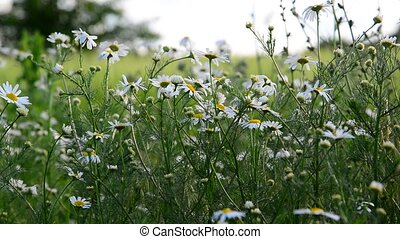chamomile on wild meadow in the evening