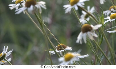 Chamomile pharmacy in a clearing in the woods on a summer ...