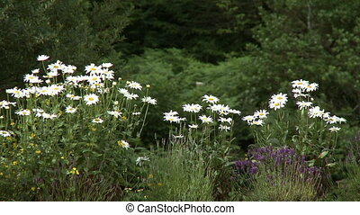 Chamomile Plants In Wooded Area - Steady, medium wide shot...