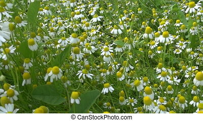 chamomile plants - Walk between chamomile flowers plants...