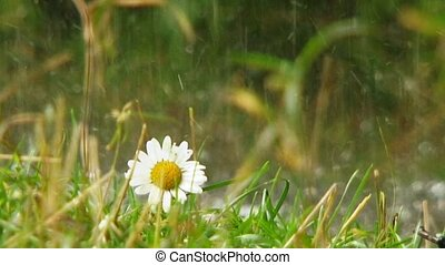 Chamomile - Flower in the rain.