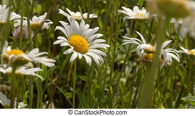 chamomile sway in the wind