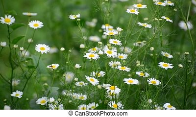 Chamomile swaying in light breeze