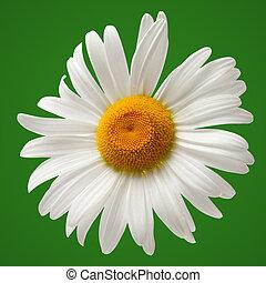 chamomile, vrijstaand, op, groene achtergrond