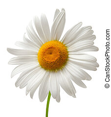 chamomile, vrijstaand, op wit, achtergrond