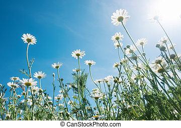 chamomiles, 針對, the, 藍色的天空