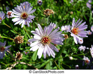 Chamomiles and lilac asters on the background of greenery