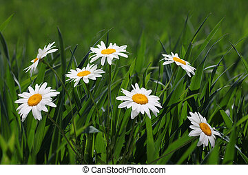 chamomiles in green grass
