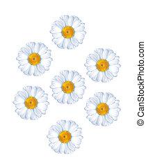 chamomiles isolated on white