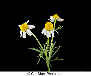 Chamomiles on a black background