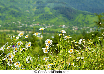 chamomiles on the background of mountains