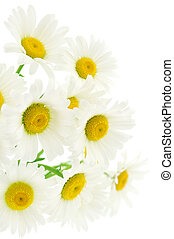 Chamomiles on white background - Bouquet of Chamomile...