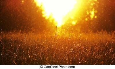 champ, 3, herbe, coucher soleil
