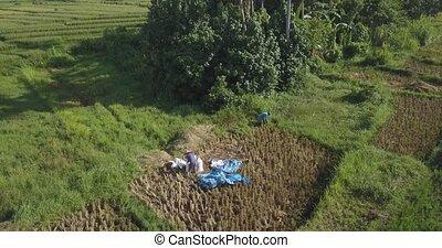 champ, aérien, gens fonctionnement, vue dessus, riz