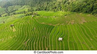 champ, agriculture, land., riz, montagne, terrasse