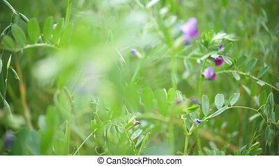 champ, avoine, vent, mouvementde va-et-vient, fond, nuages, oreilles, orage, vert, flowers.