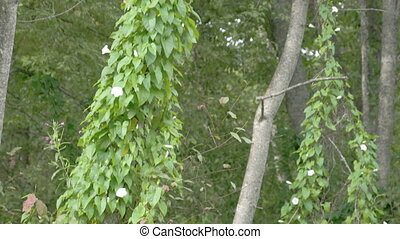 champ, bindweed, vigne, plante, long