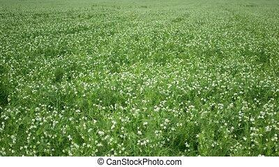 champ, bio, paillis, azote, autre, organique, pois, récoltes...