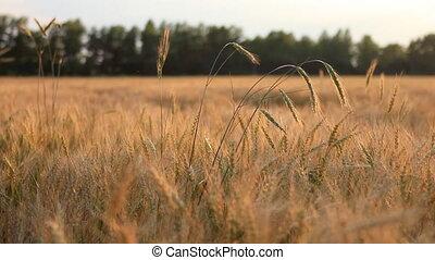 champ, blé, brise, panoramique