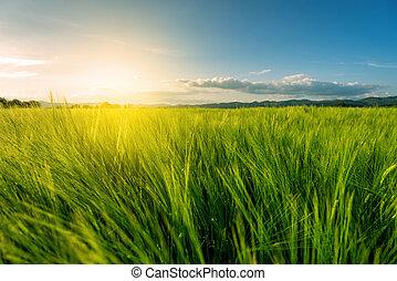 champ, blé, coucher soleil