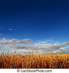 champ, blé, coucher soleil, lumière