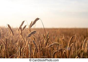 champ, blé, coucher soleil, oreilles