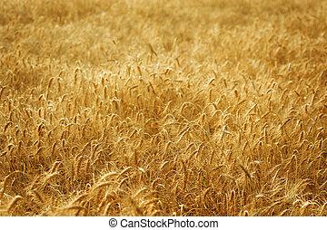 champ, blé, doré