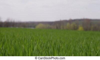 champ, blé, hiver, vent, mouvementde va-et-vient