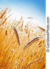 champ, blé
