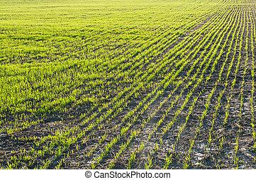 champ, blé, jeune