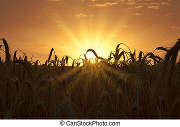 champ, blé, levers de soleil