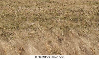 champ, blé, mûre, oreilles
