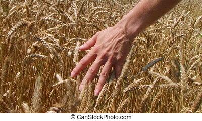 champ, blé, main