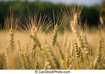 champ, blé, oreilles