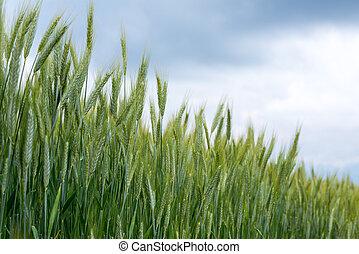 champ, blé, printemps