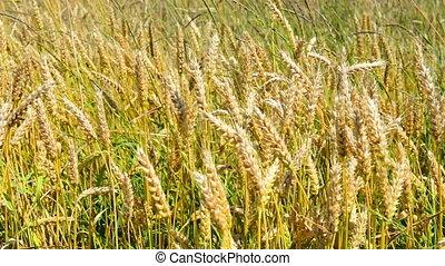 champ, blé, vent