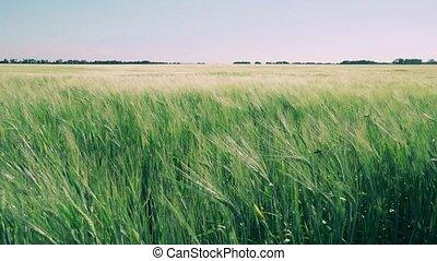 champ, blé, vent, mouvementde va-et-vient