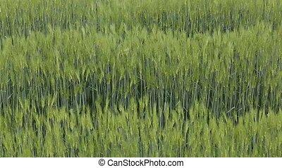 champ, blé, vert