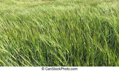 champ, blé, vert, oreilles