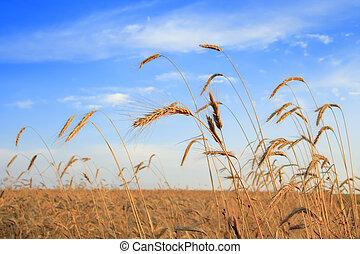 champ, céréales