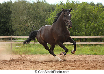 champ, cheval, noir, galoper, gratuite