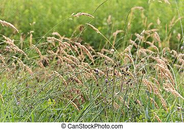 champ, closeup, mauvaises herbes