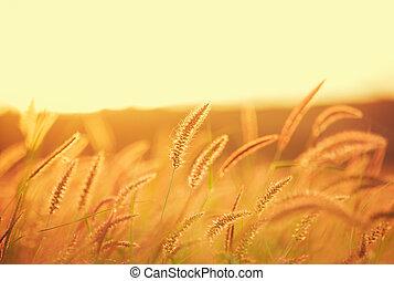 champ coucher soleil, beau, couleur vibrante