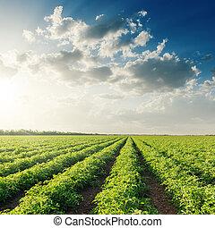 champ, coucher soleil, tomates