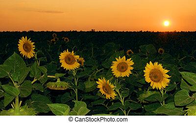 champ, coucher soleil, tournesol
