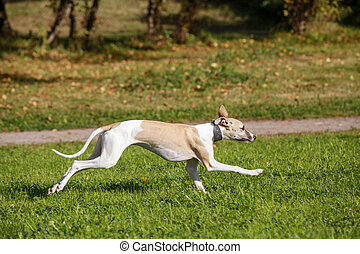 champ, course, chien, whippet