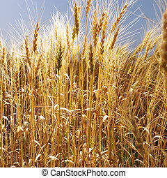champ, de, wheat.